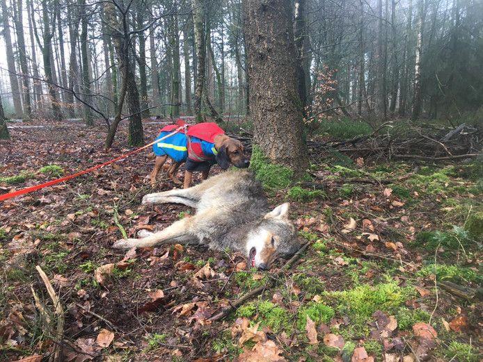 Boswachter Ger Verwoerd spoorde de aangereden wolf op met een zogeheten zweethond. De wolf was toen al overleden.