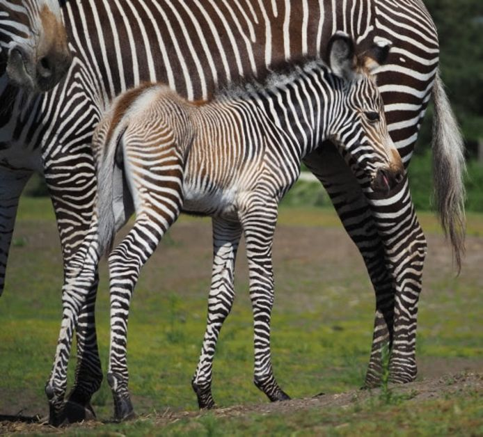 De baby zebra.