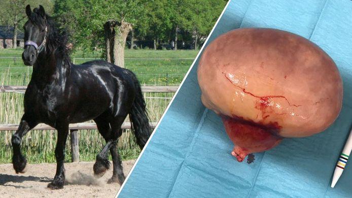 Paard Auke werd onlangs geopereerd na buikklachten, waarbij een vetbult ter grootte van een meloen.