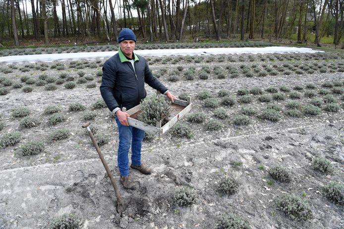 ETTEN-LEUR,  Jan Stads / Pix4Profs.  Rubriek van West-Brabantse bodem Gilbert Sweep in zijn lavendelveld