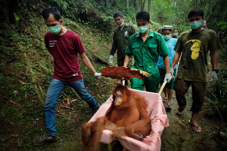 Asha, een 20-jarig vrouwtje, wordt teruggebracht naar het natuurreservaat, waar ze zal worden vrijgelaten.Ze was in het Quarantine Center van het Sumatran Orangutan Conservation Programme opgenomen met een gebroken rechterhand, een gebroken heup en gangreen aan haar linkerhand, waar ze een klap op had gekregen.  Beeld © Alain Schroeder