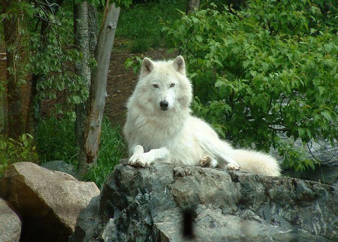 De wolf is terug.