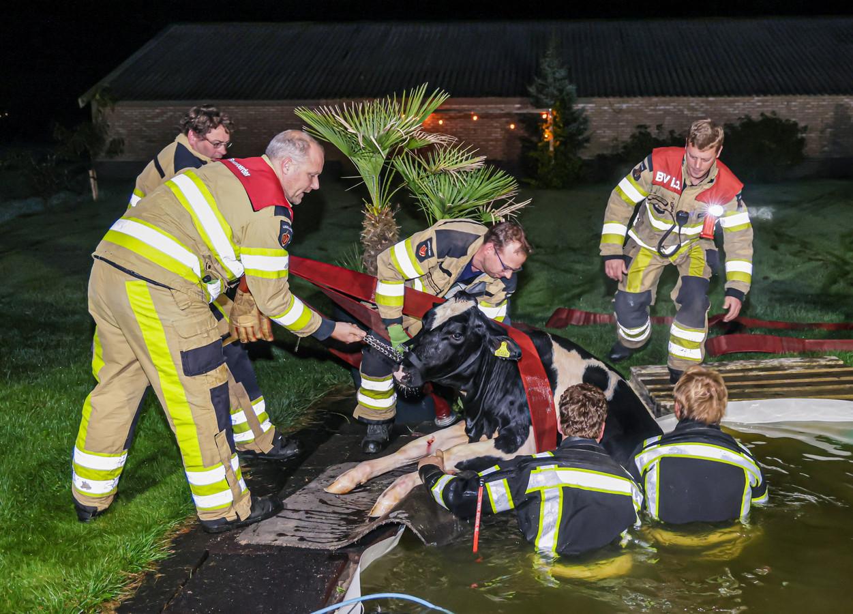 De koe wordt door de brandweerlieden uit het zwembad getakeld.