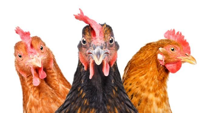 Roeselare organiseert kippenbedeling