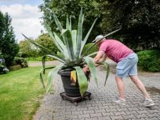 Tussen verlangen en tragiek: gaat de Agave van Bert en Mariël in Denekamp bloeien?