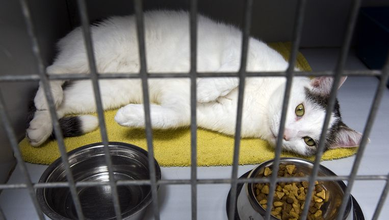 Vooral katten worden door hun baasje achtergelaten in het asiel. Vorig jaar januari en februari waren dit 62 katten tegenover 23 honden. Dit jaar waren het 17 katten en 7 honden. Beeld ANP