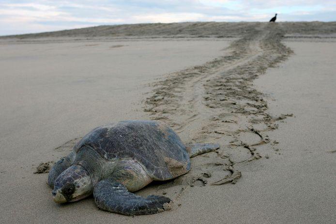 Een dwergschildpad op een strand in Mexico (archiefbeeld).