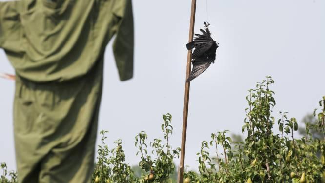 Boeren en telers boos om kraaien die velden leegplukken: mogen de vogels worden afgeschoten?