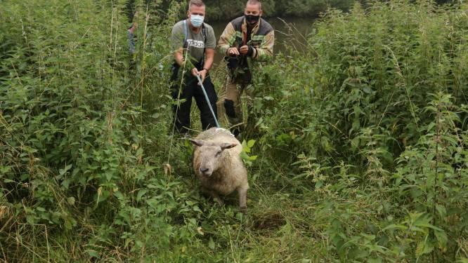 Brandweer helpt schaapjes op het droge