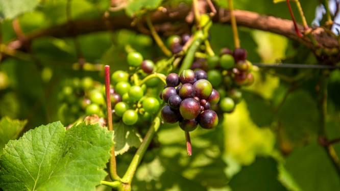 Wijnproductie in Nederland enorm toegenomen: ruim 80 procent stijging in vijf jaar tijd