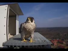 Pa en ma slechtvalk broeden op nest aan schoorsteen ENKA-terrein in Ede: drie kuikens verwacht