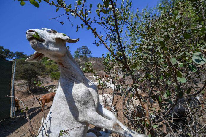 Een geit eet de kurkdroge planten op.