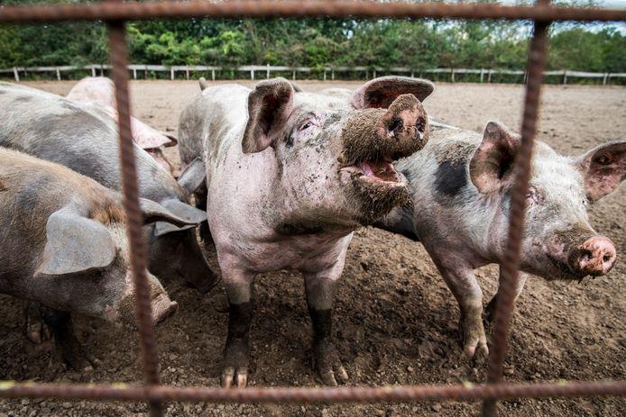De varkens mogen op een verharde strook van 18 meter vrij rondlopen.