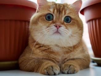 De gelaarsde kat bestaat echt en zo ziet hij eruit