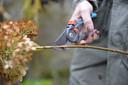 Van de boerenhortensia's knip je alleen de droge bloemen en een stukje steel af, tot net boven een eerste groene knop.
