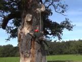 De dikste boom van Nederland krijgt een opknapbeurt