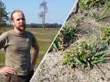 Boswachter ontdekt zeldzaam plantje op Boetelerveld