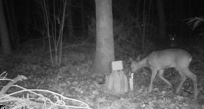 Deze ree legde Ciske vast met de wildcamera.