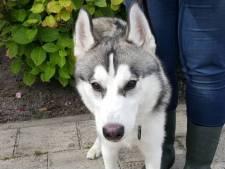 Eigenaar gezocht van in tunnel gevonden husky