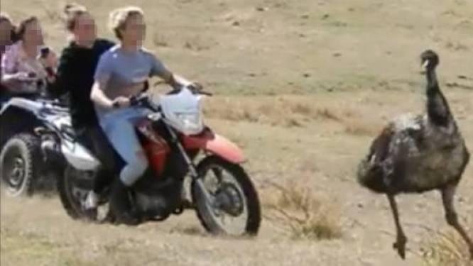 Tieners met bromfiets jagen doodsbange emoes op terwijl ze filmen met hun GoPro