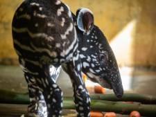 Kleine tapir is nieuwste bewoner in de ZOO