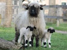 Schattig! Lammetjes geboren op kinderboerderij in Amersfoort