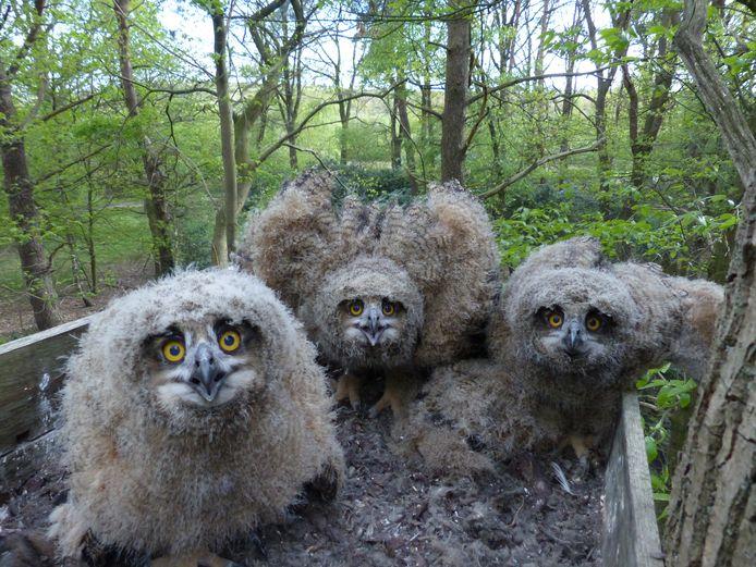 Jonge oehoe's in een nest op een Twents bedrijfsterrein.