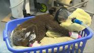 Al meer dan 185.000 euro ingezameld om door bosbranden bedreigde koala's te redden in Australië