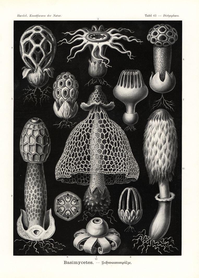 Zwammenprent van Ernst Haeckel. De middelste zwam vormde de inspiratie voor de feestjurk. Beeld Mary Evans Picture Library Ltd.