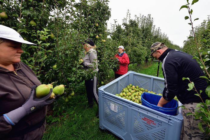 Fijnaart -Arbeidsmigranten aan perenpluk bij fruitteelt Westende.