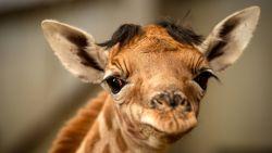 Planckendael verwelkomt opnieuw baby-giraf