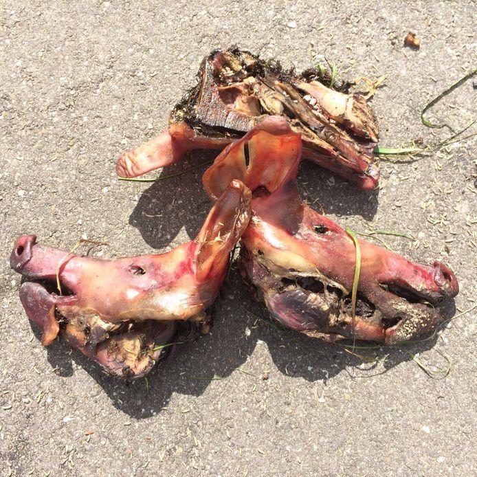 De gemeente Borsele heeft de varkenskoppen weggehaald.
