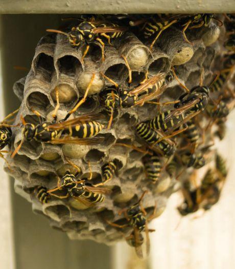 Veel meer wespennesten en het ergste moet nog komen