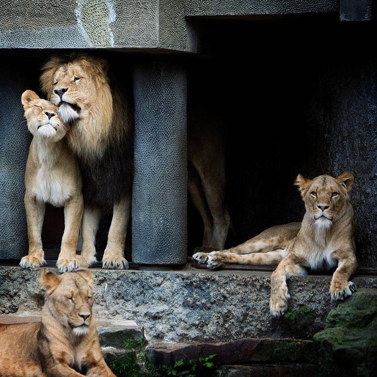 Het leeuwenverblijf in dierentuin Artis Amsterdam.  Beeld Jan van Breda
