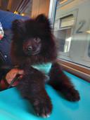 Tao, le jeune Loulou de Poménarie, n'avait que quatre mois.