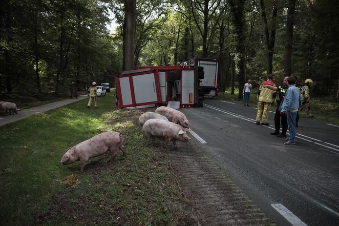 Varkens aan de wandel bij Ommen, nadat de aanhanger waarin zij werden vervoerd is gekanteld.