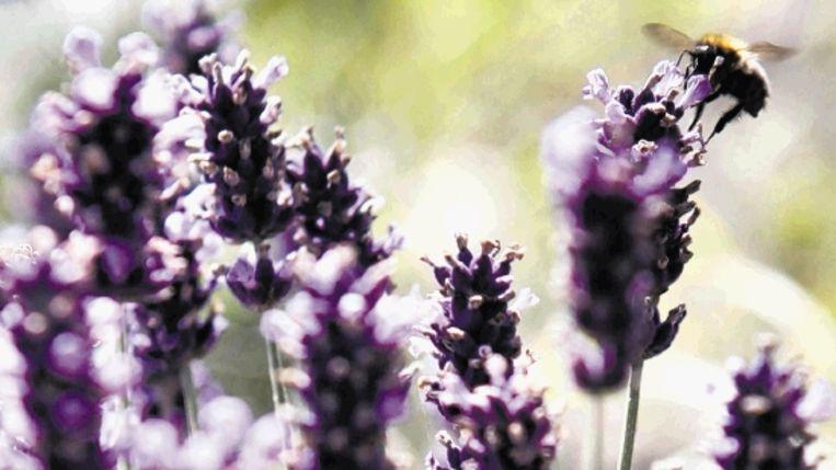 Lavendel is niet veeleisend. ( FOTO JÃ¿RGEN CARIS, TROUW) Beeld
