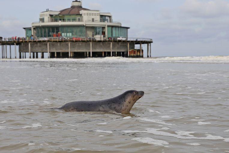 Archiefbeeld van de vrijlating van een zeehond die werd opgevangen door Sea Life in Blankenberge.