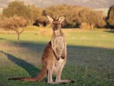 Onderzoek toont aan: kangoeroes kunnen met mensen communiceren