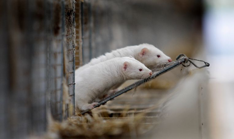 Nertsen in hun kooi bij onderzoeksbedrijf voor pelsdieren
