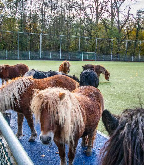 Dertien pony's achtergelaten op veld van hockeyclub Were Di, 'Ik moest even in mijn arm knijpen'