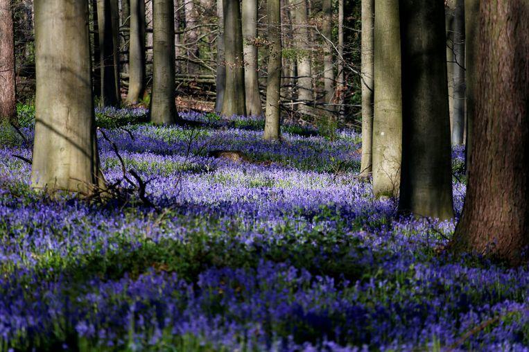 Het bekende Hallerbos met zijn paarse bloemenzee van wilde hyacinten. Door de nieuwe aankoop wordt dit bos iets groter. Beeld REUTERS