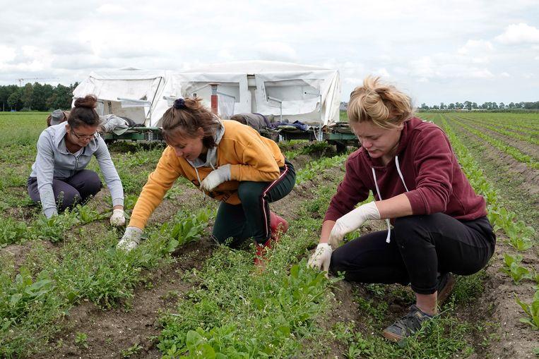Arbeidsmigranten uit Polen wieden onkruid in een akkerbouwgebied nabij Marknesse. Beeld Hollandse Hoogte / Fred Hoogervorst