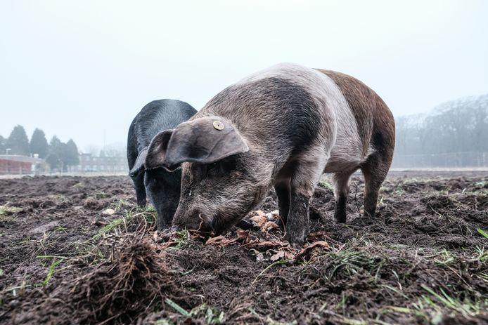 De varkens van Ellen Willems-Ter Maat.