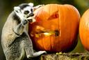Halloween in Dierenpark Amersfoort. De ringstaartmaki's  doen zich te goed aan een pompoen. FOTO : Remko De waal
