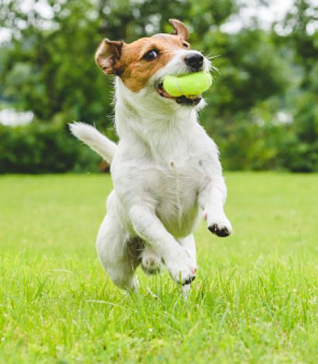 Blaffende honden dicht bij rustzoekers in Ommel