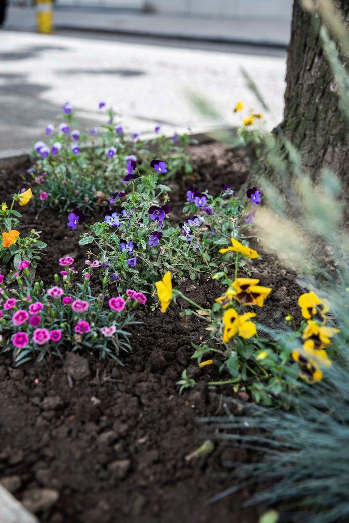 Tal van verschillende soorten bloemen kleuren intussen Sint-Truiden.