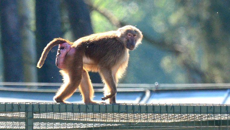 Een van de ontsnapte en teruggekeerde bavianen werd vandaag gefotografeerd in het dierenpark.