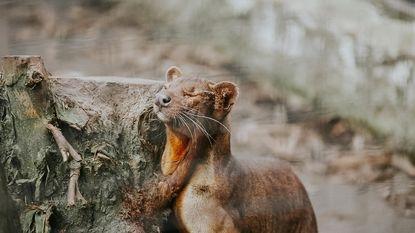 Olmense Zoo beschemt bedreigd roofdier
