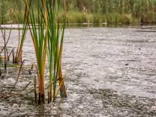 Meterslange slierten met dons in Bredase waterplassen: 'Honderden ganzen zijn in de rui'